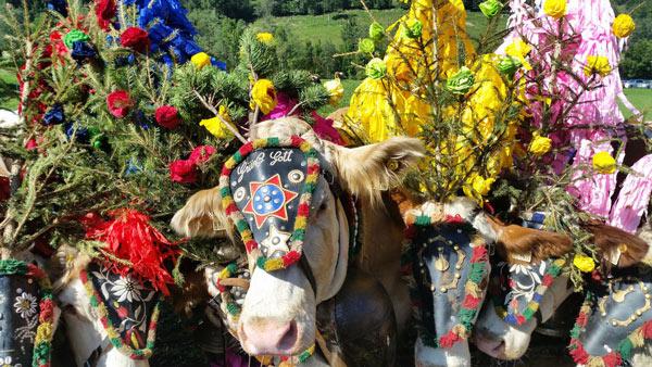 prächtig geschmückte Kühe