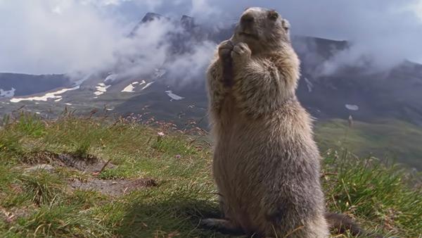 Murmeltier in den Zillertaler Alpen