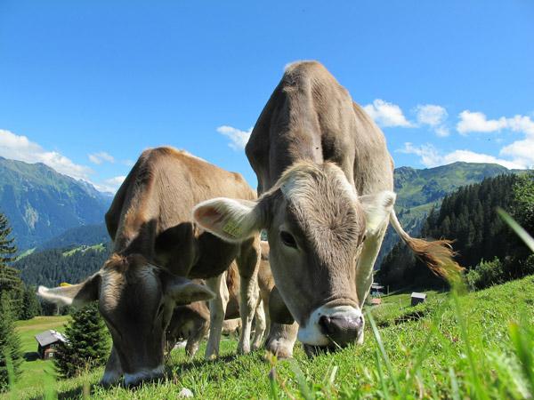 Kühe auf der Alm im Zillertal