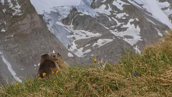 Murmeltiere in hohen Lagen