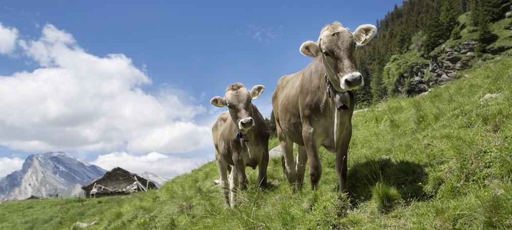 schöne Milchkühe auf der Weide
