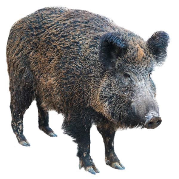 Wildschwein aus dem Spiel Tiere der Zillertaler Bergwelt